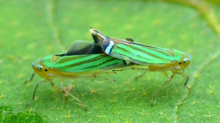 https://flic.kr/p/bVARNw   Leafhoppers mating, Sibovia prodigiosa?
