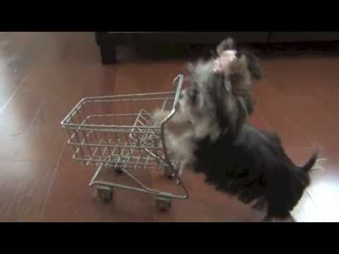 This is one smart Yorkie!  Misa Minnie Shopping Puppy 24 wks old - http://youtu.be/IFoFuzkNDMI