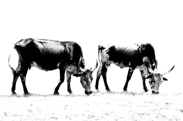 Nguni Canvas Prints - Canvas Prints Of Nguni Cattle