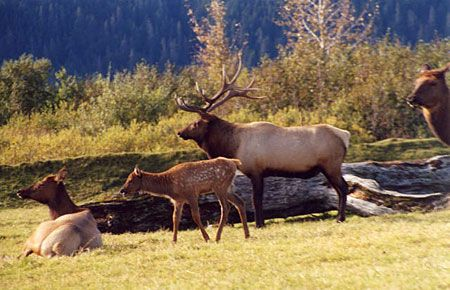Photo of a Roosevelt Elk... aka new neighbors :)