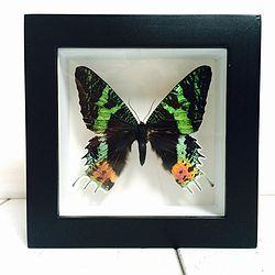 Vlinder in lijst Urania Ripheus. In deze lijst zit een Urania Ripheus vlinder. Deze kleurrijke vlinder lijkt bijna licht te geven.