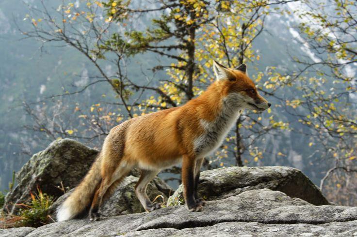 liška obecná - Hledat Googlem