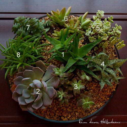 1 climbing aloe aloe ciliaris 2 graptoveria 39 debbie 39 3 for Succulent dish garden designs