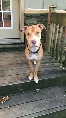 Pictures of Sweet Pea a American Pit Bull Terrier for adoption in Sunbury, OH who needs a loving home.