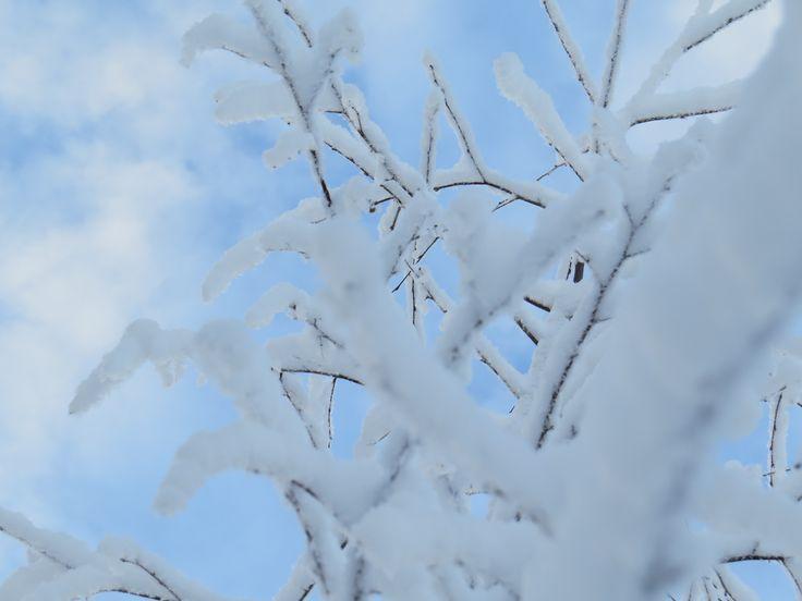 #birch #snow