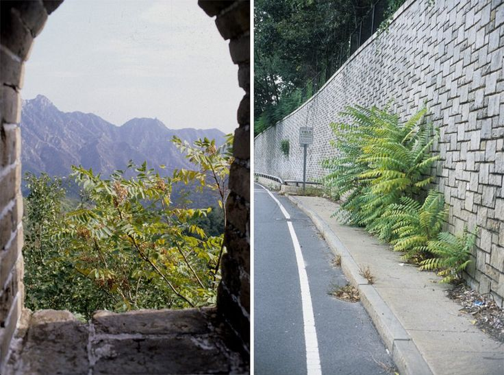 Ailanthus altissima on the Great Wall in China (left) and on a lesser wall in Boston (right).