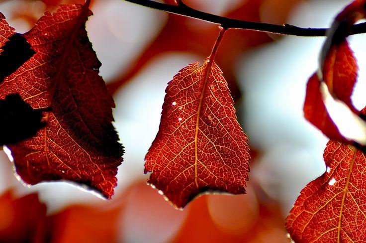 Beautiful autumn leafs in a sunny day!  #autumn #leafs #macro #nature #fall
