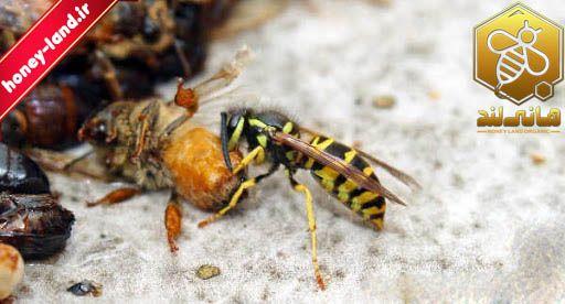 زنبور زرد In 2020 Wasp Traps Yellow Jacket Apiary