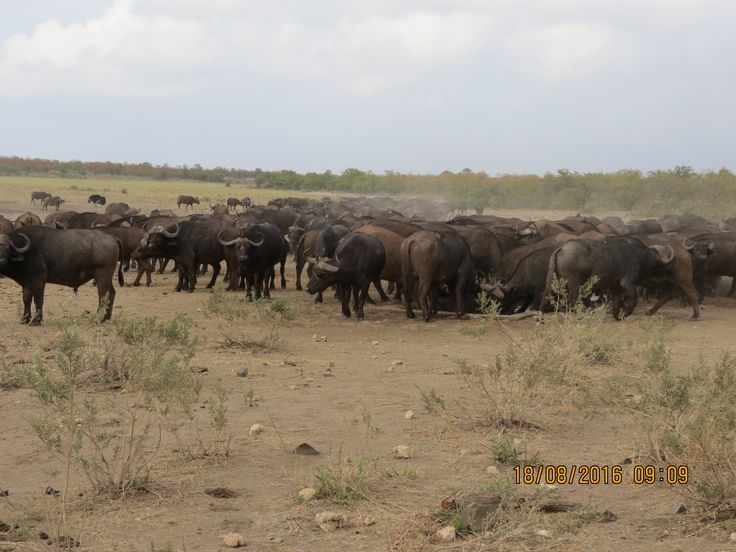 Buffalo Kruger Park 2016