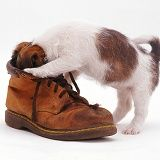 Jack Russell pup inspecting a shoe                                                                                                                                                                                 More