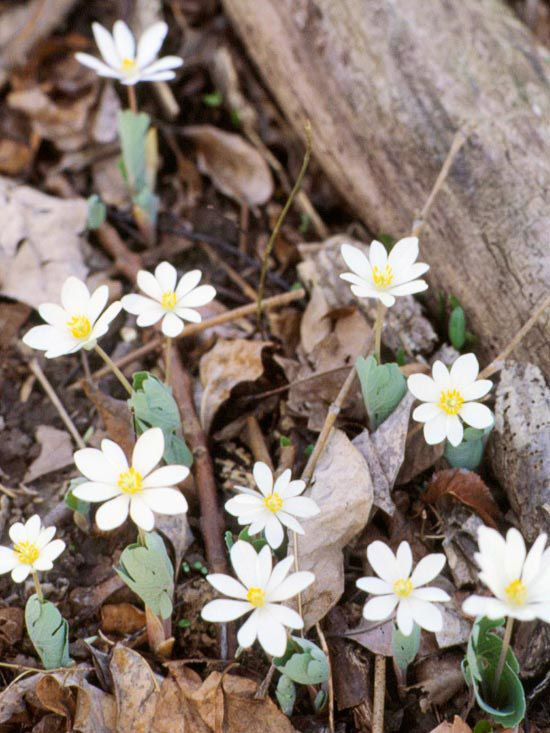 Spring-Blooming Woodland Flowers - Bloodroot. Though it has an unfortunate-sounding common name (derived from the reddish sap in the roots), its daisy-shape blossoms are precious as they emerge from the ground. Bloodroot doesn't flower for a long period, but like fireworks, the blooms will mesmerize you when they appear.  Size: To 12 inches tall  Zones: 3-8  Plant it with: Rue anemone, Virginia waterleaf, and black cohosh