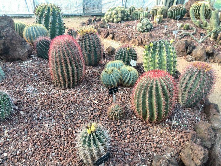 Rincón de Ferocactus
