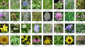 Clickable Library of Edible Wild Food Foraging Plants | http://thehomesteadsurvival.com/clickable-library-edible-wild-food-foraging-plants/