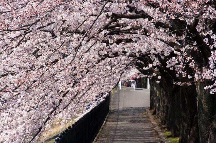 乞田川の桜 TAMA