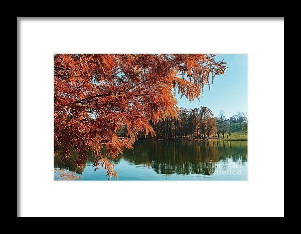 Yellow Autumn Tree On Lake Water With Reflection Background Framed Print