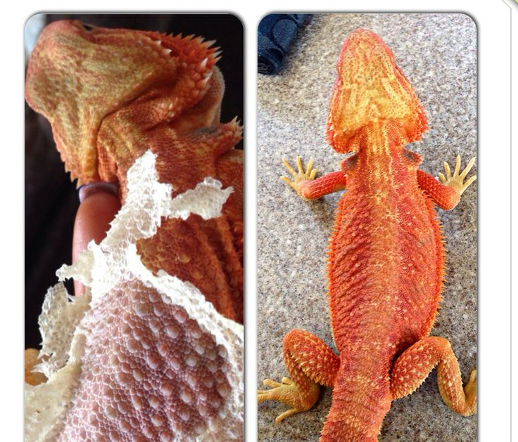 Bearded dragon - Wesley   Facebook: Bradburys bearded dragon (breeders)