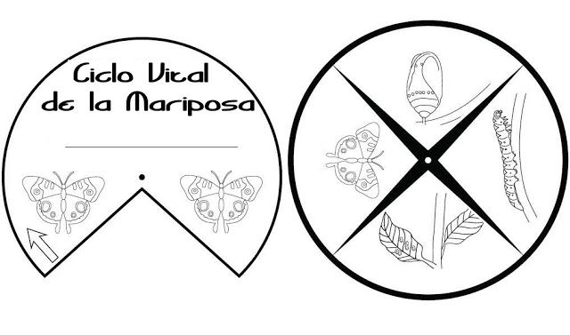 Ciclo vital de la mariposa (Actividad)