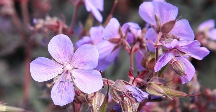 Geranium pratense 'Hocus Pocus' op vasteplant.be