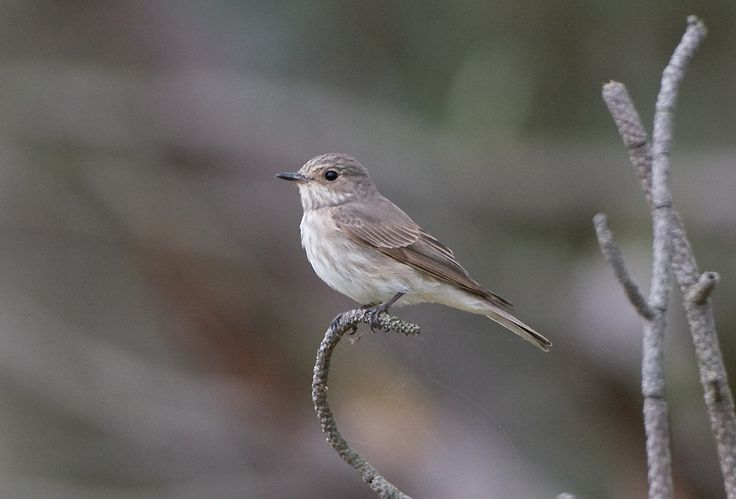 Spotted Flycatcher (Muscicapa striata striata) - Index - Gallery - Wild Bird Gallery