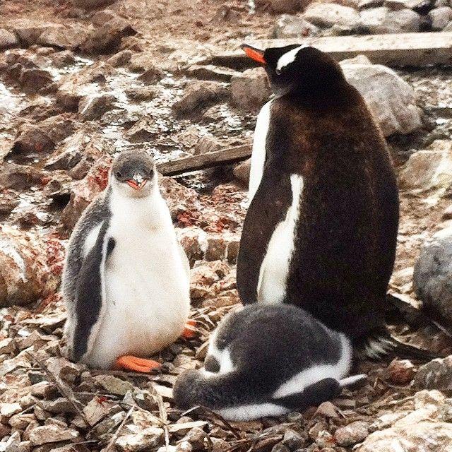 I dag var vi i land i Neko Harbour, og satt bokstavelig talt midt i en flokk hekkende pingviner med små og store barn - helt magisk!  #gentoo #antarktis #antarctica #travel #wildlife #penguin #baby