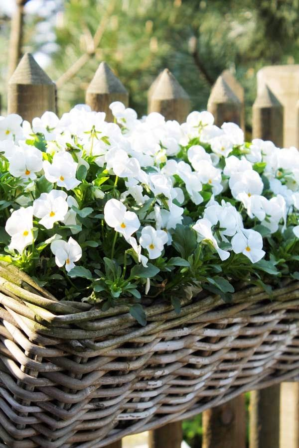 91523ce75 pretty basket of annuals ~ they re white impatients...because it likes