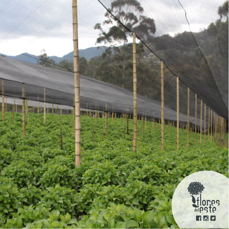 The Saran is the awning that covers the field where we grow our hydrangeas to protect them from the direct sunlight and heavy rains. This is how we support all the daily work and the effort of our collaborators. #floresdeleeste