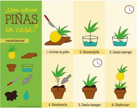 Piña organica en casa. Pineapple organic #home #organicfood #pineapple #fruit