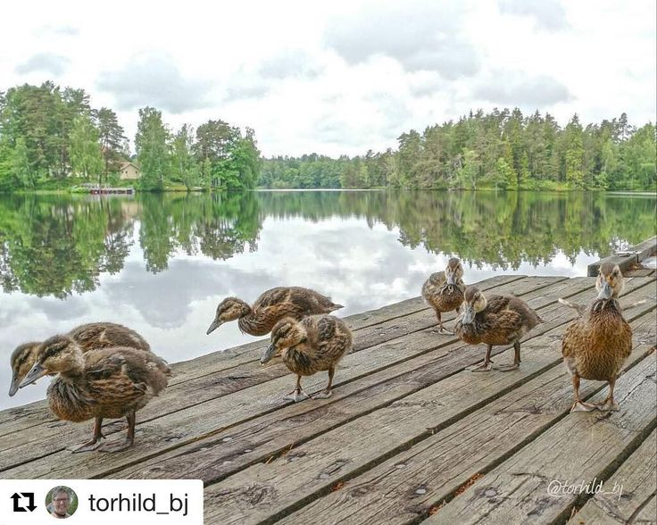 Travelling with a group can be fun. #reiseliv #reisetips #reiseblogger #reiseråd  #Repost @torhild_bj (@get_repost)  Cute ducks one of them are so proud of his wings. Location : Dalsland Sweden.  #loves_united_reflections #loves_united_sweden#loves_reflections