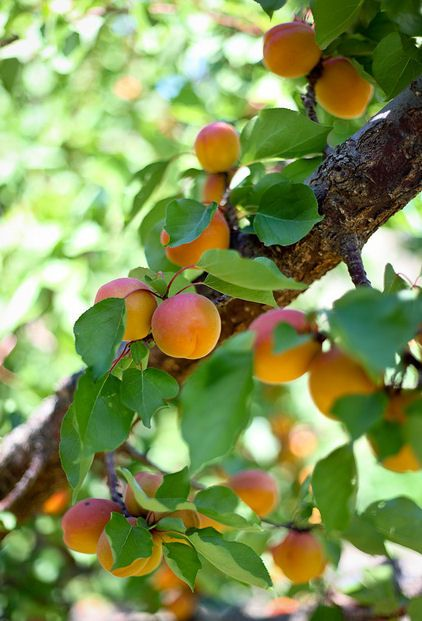 fruit  ....