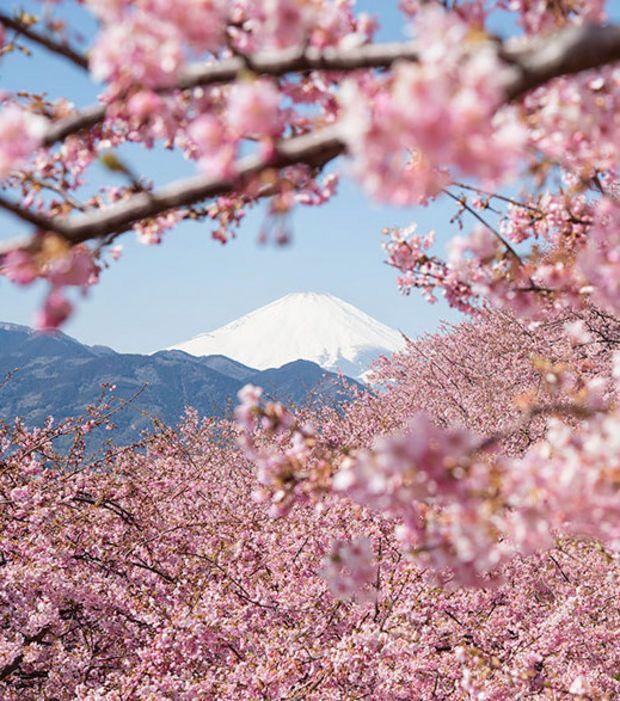 17 meilleures id es propos de fleurs de cerisier for Fleurs online