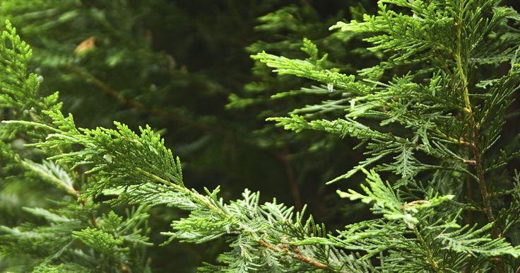 Cómo extraer el aceite de cedro y enebro. Los árboles de cedro y enebro tienen aromas frescos y agradables utilizados en remedios caseros y productos de aromaterapia, perfumes y repelentes de insectos. Ya que los aceites se extraen de los árboles, los cazadores han tenido éxito usándolos para enmascarar sus aromas. Ambos pueden reducir la congestión nasal cuando se utilizan en un ...