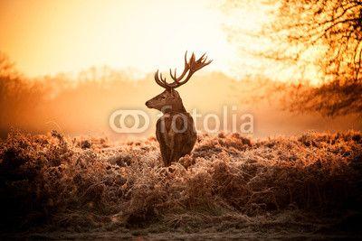 Red Deer in Morning Sun ©arturas kerdokas