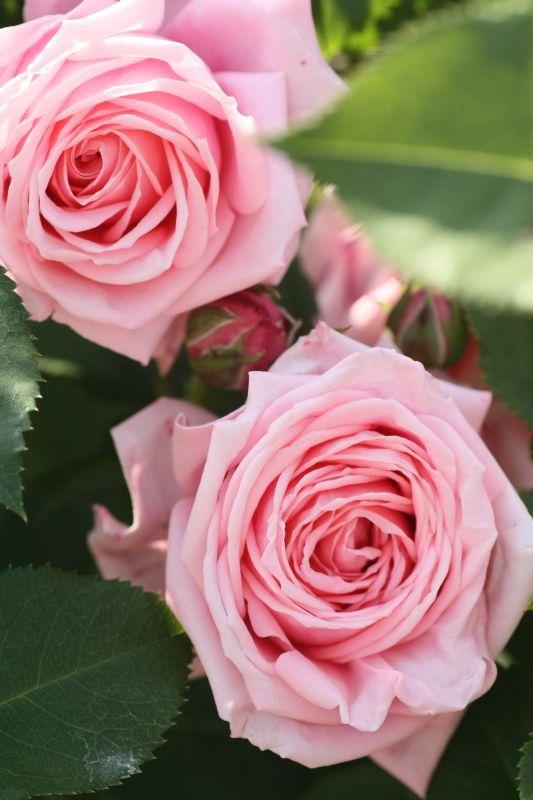 ~Floribunda Rose: Rosa 'Gene Boerner' (U.S., 1968)