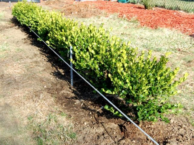 I selected Korean boxwoods for their hardiness, small leaves and compact form. - David Beaulieu
