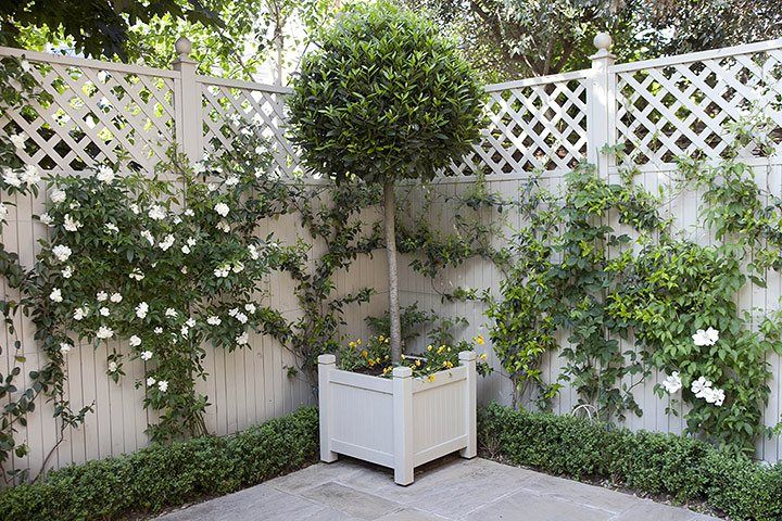 lauras nobilis/bay tree/ hedge and climbing rose.Tiny courtyard garden in Chiswick - in pictures