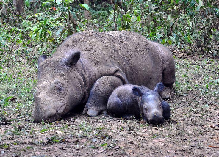 Sumatran rhino mama Ratu and Baby Andatu. Photo courtesy of the International Rhino Foundation.