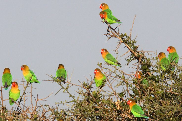 Fischers_Lovebird_Tanzania_Philip_Perry.jpg (955×634)