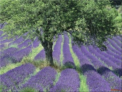 France Lavender FieldsFredericksburg Texas, Lavender Fields, Hampton House, Gardens, Trees, Places, Southern France, Texas Hills Country, Provence France
