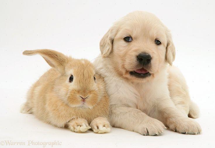 Baby Golden Retriever | Pets: Baby sandy Lop rabbit with Golden Retriever pup photo - WP10574