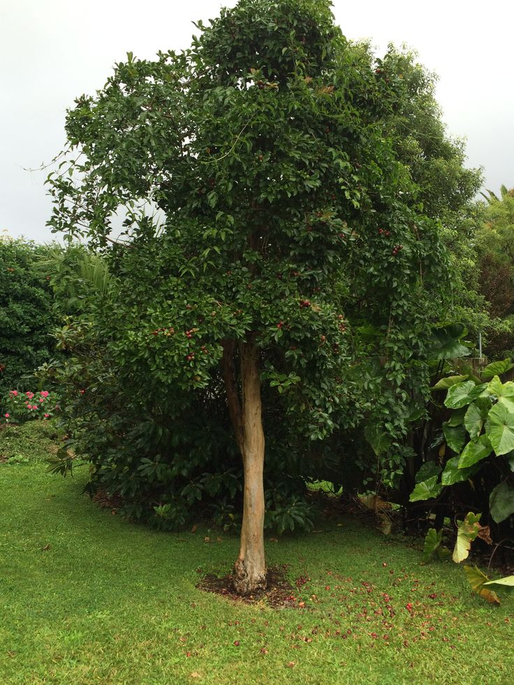 Grow guava trees for the New Zealand native wood pigeon. Food is scarce this time of year.