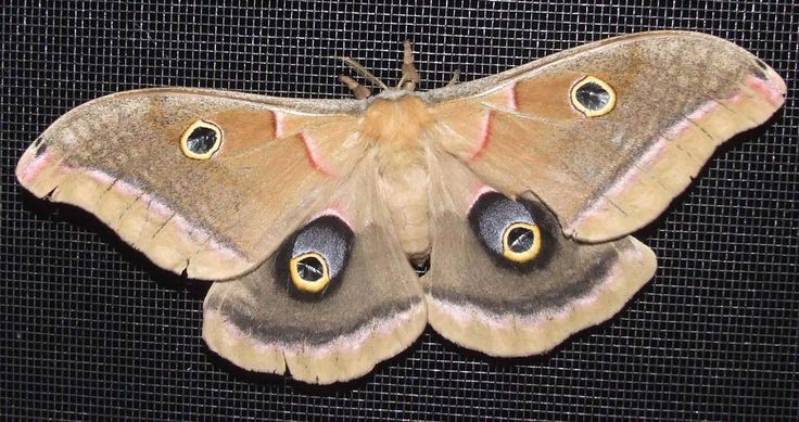 "List of Moths in Eastern North America / ""eyes"" reference ..."
