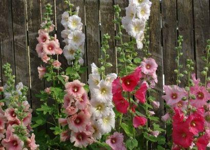 hollyhocks-against-a-fence, Growing hollyhocks: How to grow hollyhocks, seasonal care and growing tips for Alcea rosea hollyhock plants