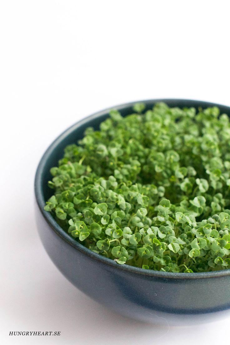 Odla chia- och senapsskott enkelt och snabbt i fönstret. På bara ett par dagar har du fräscha och näringsrika skott att ha t ex på macka, soppa eller i sallad.