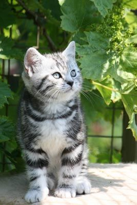 Silver tabby I want her!!!!!!!