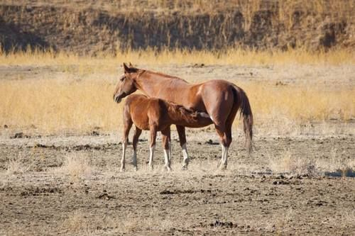 Montgomery Creek Ranch is a Wild Horse Sanctuary in Northern California dedicated to raising awareness about America's wild horses and burros and providing a place where people and horses connect.