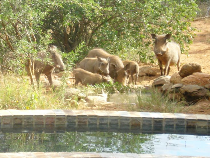 Warthog family enjoying a drink from a waterhole at a home in Raptors View Wildlife Estate