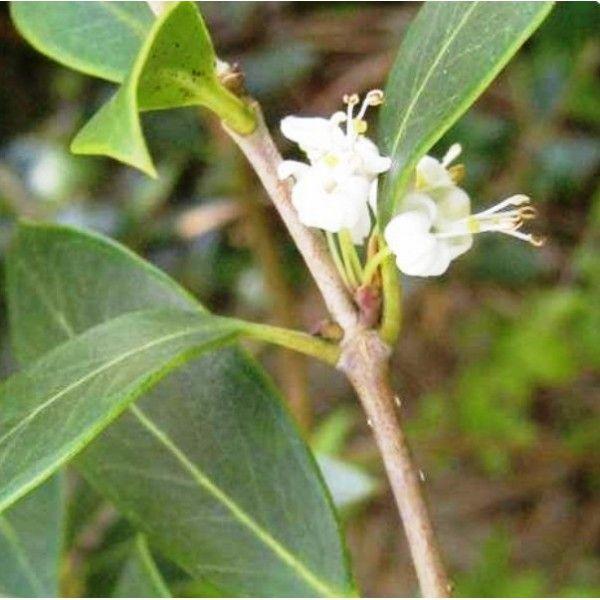 1000 id es sur le th me feuilles persistantes sur pinterest arbustes jardinage et h m rocalle - Arbuste a petites fleurs blanches ...