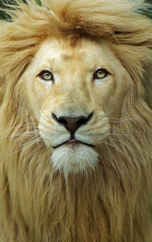 ~~King's Head - majestic male lion portrait by Aleksandar Vasic~~