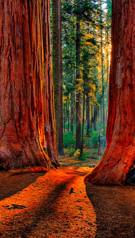 Grant Grove of giant sequoias at Kings Canyon National Park in the southern Sierra Nevada mountains of California • photo: Larry Gerbrandt on Flickr