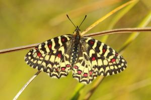 Insectos. Foto de una mariposa arlequin, Zerynthia rumina.